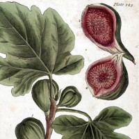 fig-tree-art